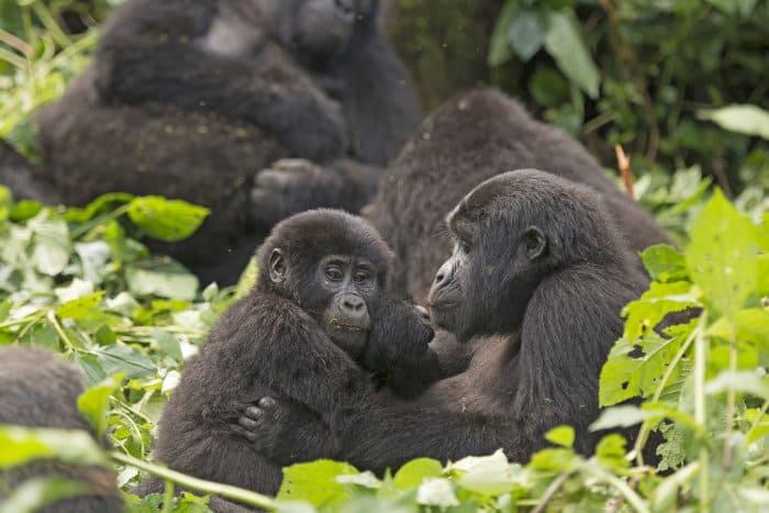 Mountain gorilla troop in Bwindi Impenetrable Forest
