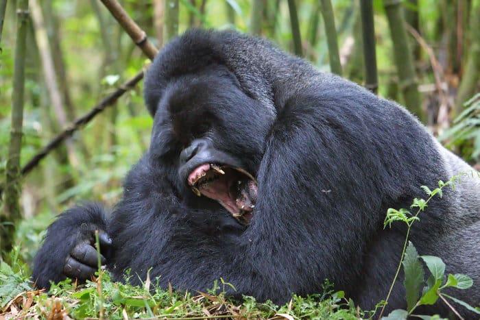 Silverback mountain gorilla yawning