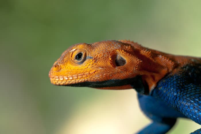 Male red-headed rock agama during the breeding season, Ruaha