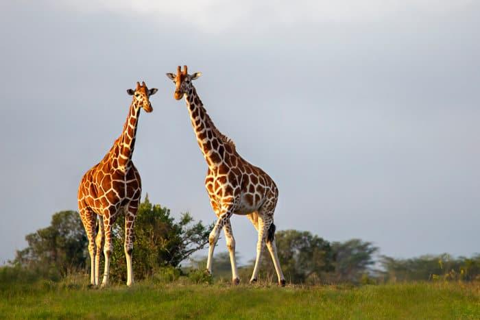 Reticulated giraffes in Kenya