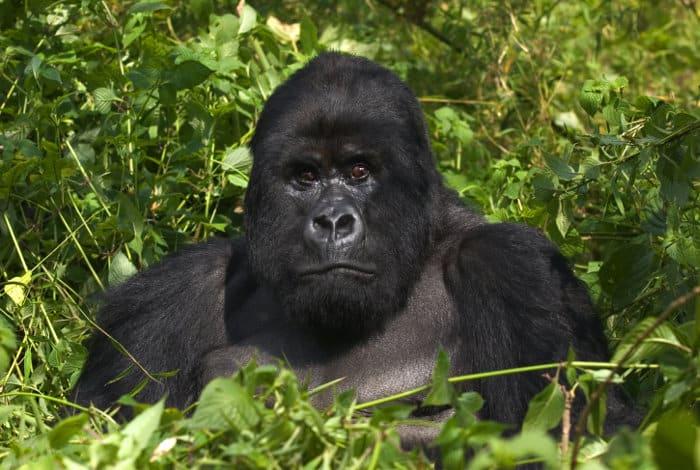 Silverback mountain gorilla in the Virunga mountains, Rwanda