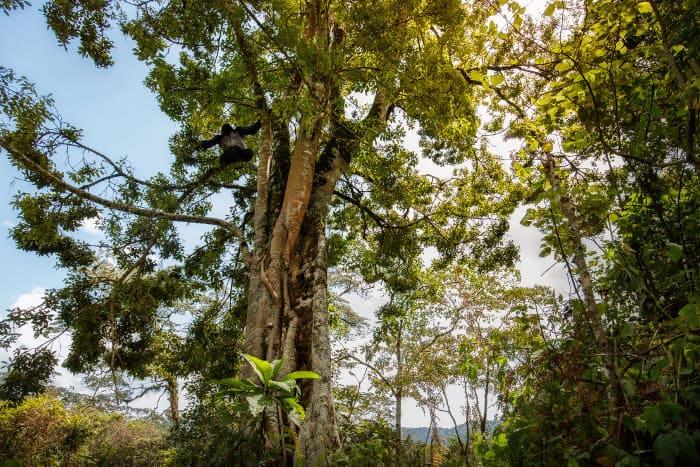 Wild silverback gorilla up in tree