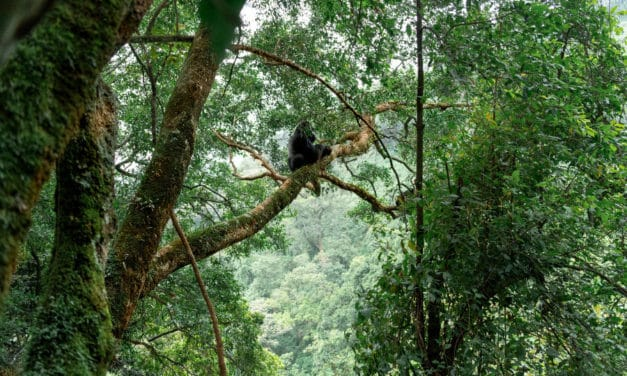 Mountain Gorilla – The complete ape story