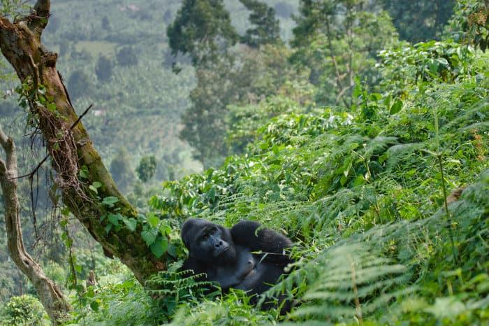 Silverback gorilla in its natural habitat
