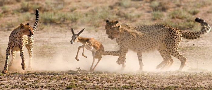 Death is near as a poor springbok gets trapped by 3 hungry cheetahs