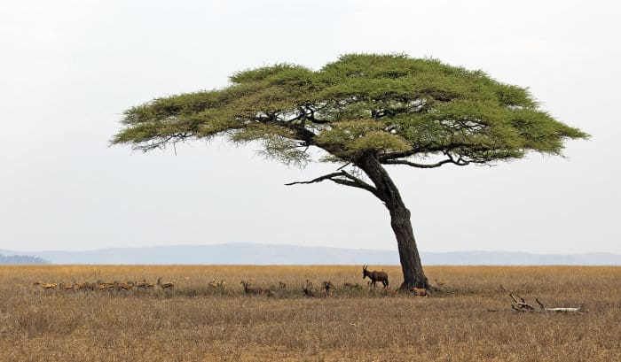 Lone umbrella thorn acacia provides welcome shade for Thomson's gazelle and Topi
