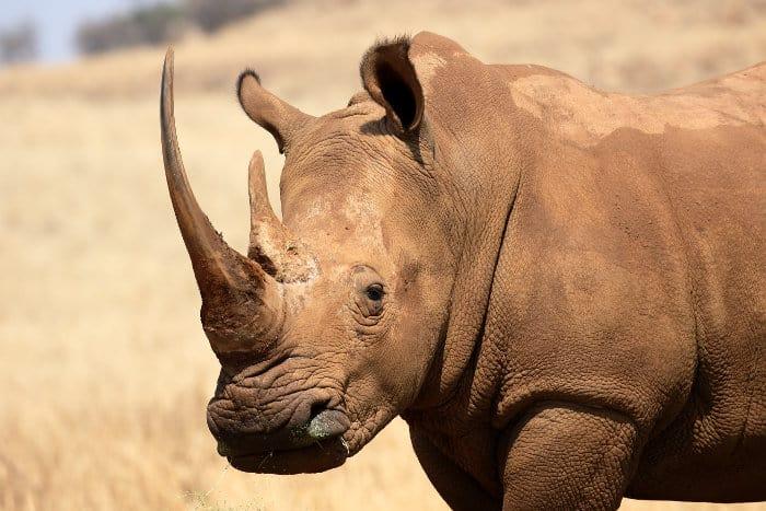 White rhinoceros head shot