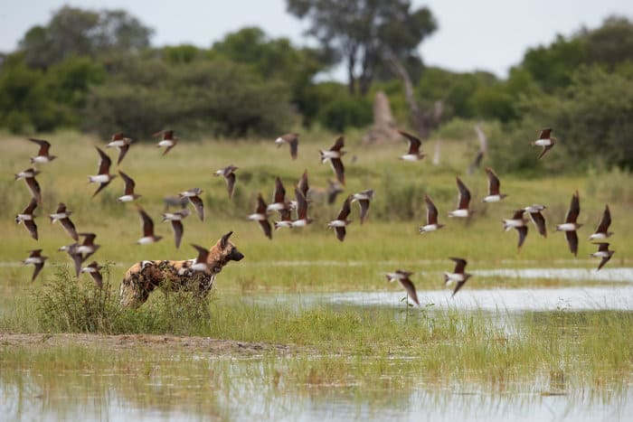 African wild dog on the alert, behind a flock of black-winged pratincole