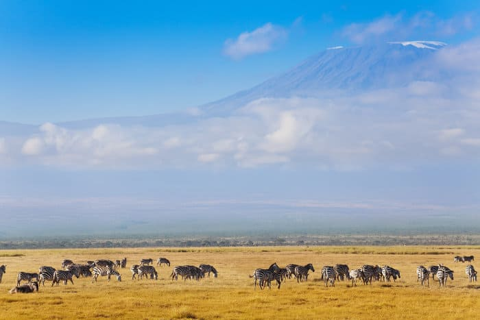 Large zebra herd with Mount Kilimanjaro in the background