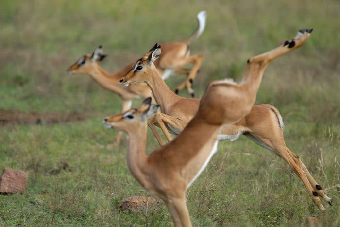 3 impala lambs leap in the air like gracile ballerinas