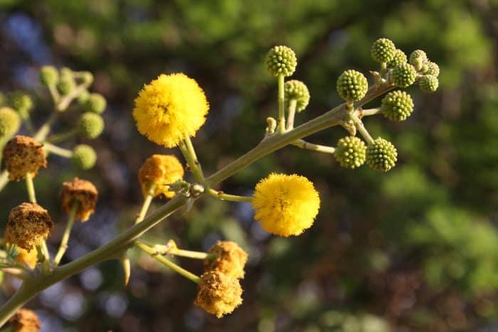 Acacia tortilis blooming