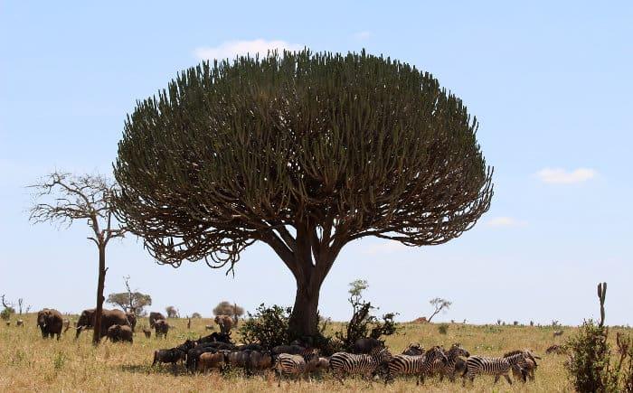 African animals seeking shade under a candelabra tree in Tanzania