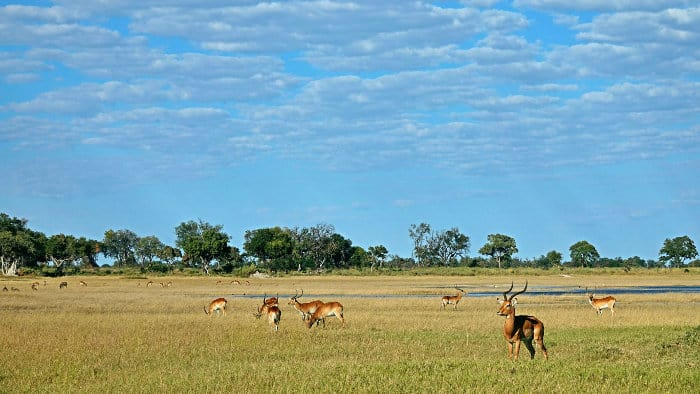 Lone impala, red lechwe and other African antelope in the Okavango Delta