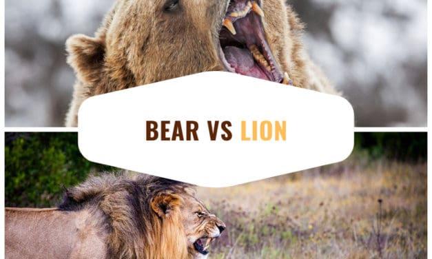 Bear vs Lion – Hypothetical battle of the giants
