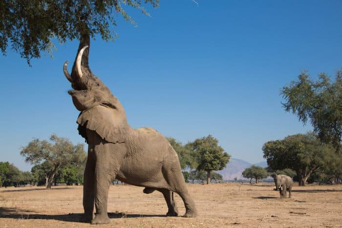Big Vic is the biggest elephant bull in Mana Pools, Zimbabwe