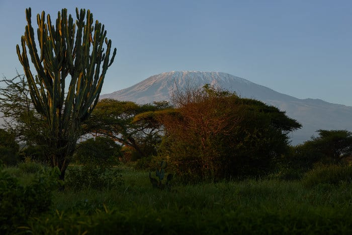 Beautiful candelabra tree stands proudly in front of Mount Kilimanjaro
