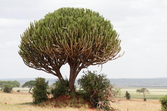 Euphorbia ingens on the African savanna