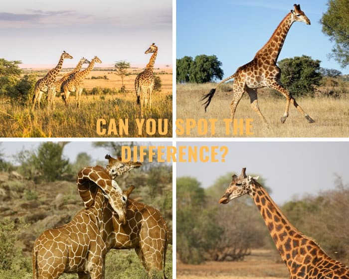 The four main giraffe species