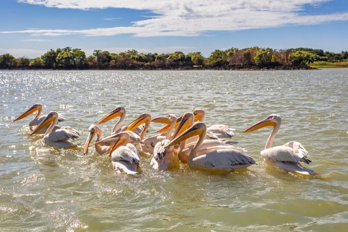 Great White Pelicans on Lake Tana, Ethiopia