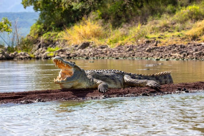 Large Nile crocodile cooling off, with mouth wide open