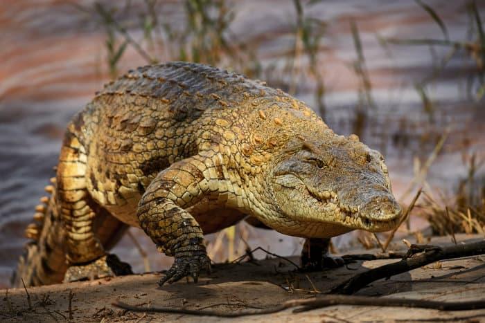 Nile crocodile walking on a sand bank, Galana river, Kenya