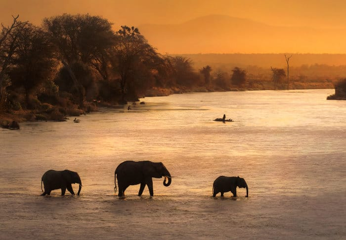 Three elephants cross the Zambezi river at sunset
