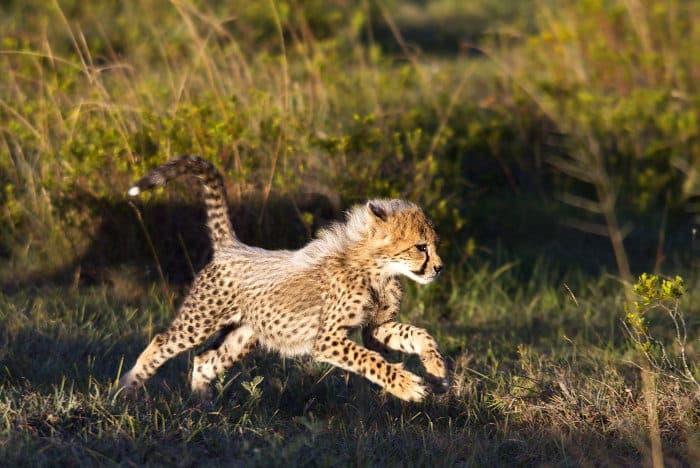 Baby cheetah running at full speed