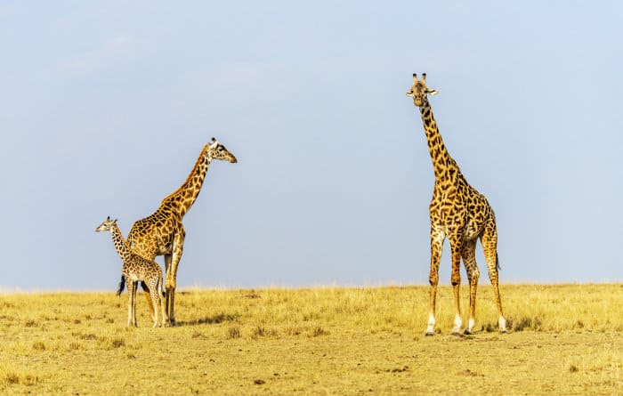 Mom and dad giraffe with their calf on the African savanna