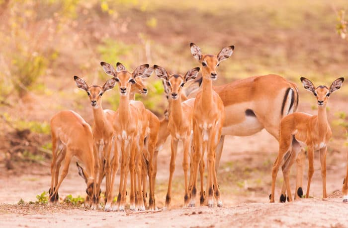Creche of baby impala in the Luangwa Valley