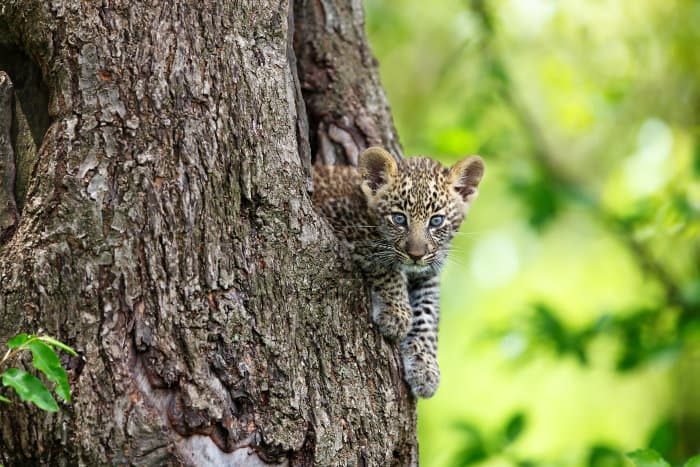 Baby leopard sticking out of a tree in the Masai Mara, Kenya