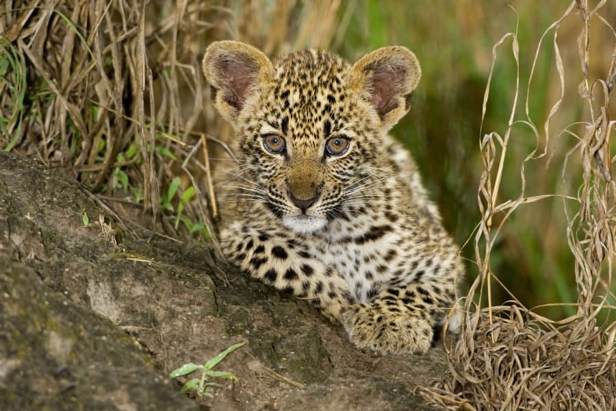 Baby leopard – 15 incredible facts about an adorable young predator