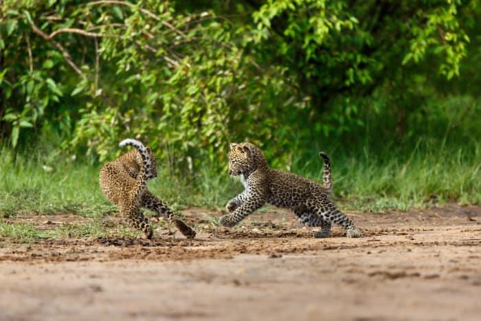 Leopard cubs playing, Masai Mara