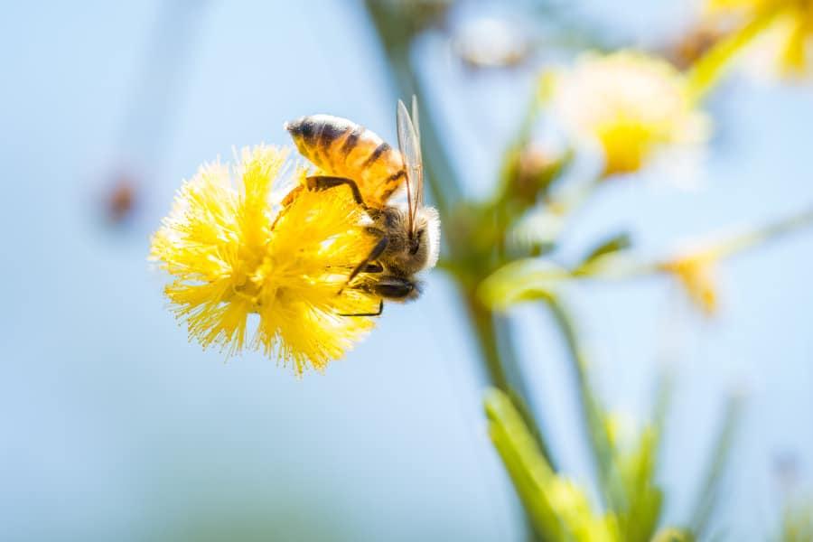 The secrets of acacia flowers