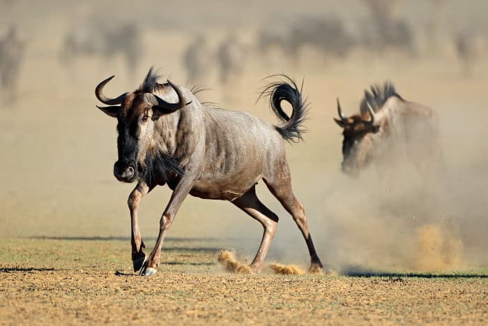 Blue wildebeest running in the Kalahari desert