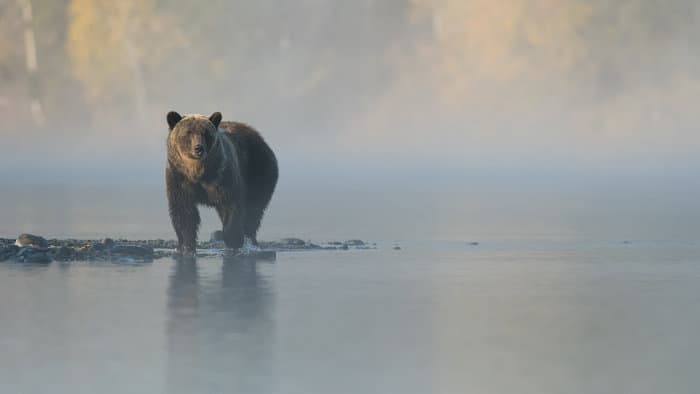 Brown bear on a foggy day