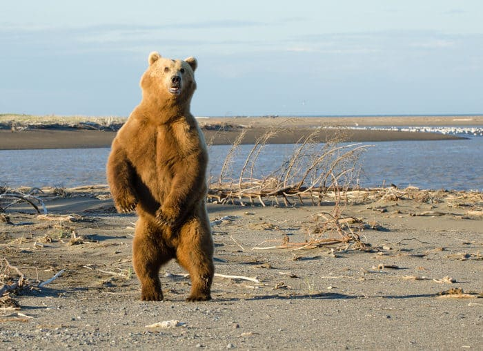 Brown bear stands on its hind legs, Lake Clark National Park
