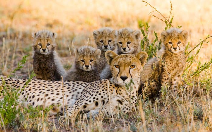 Mum cheetah and her five cubs pose for a family portrait