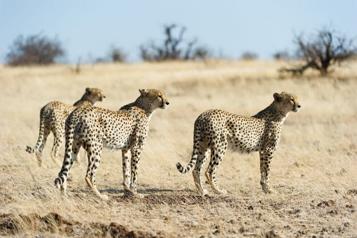 A coalition of three cheetah brothers, hunting together in Mashatu Game Reserve