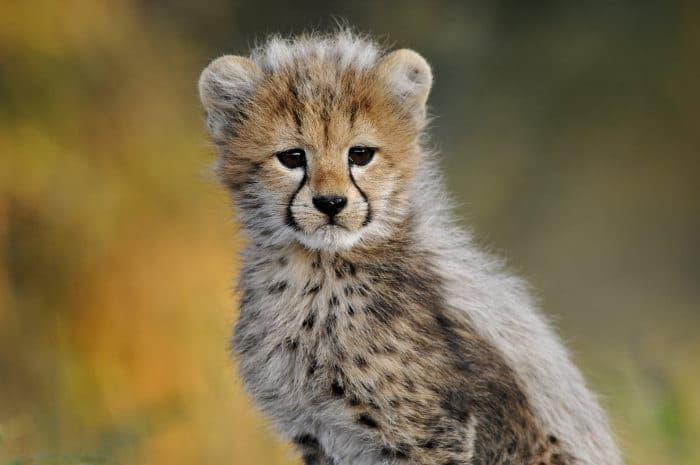 Cute cheetah cub portrait, looking at the camera