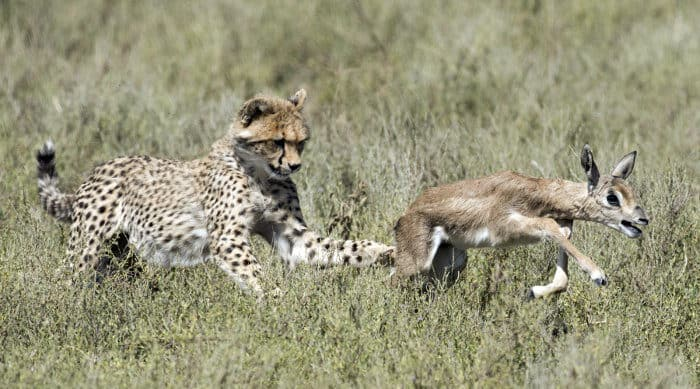 Cheetah cub learning to hunt, in this case with a baby Thomson's gazelle