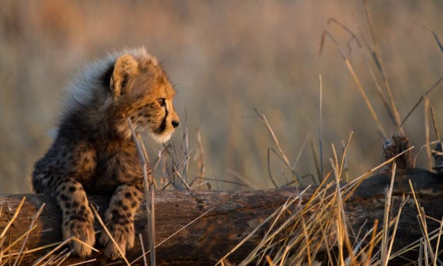 The complete baby cheetah story – From birth to predator