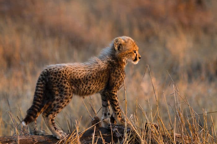 Cute baby cheetah standing proudly on a log, revealing the side of its body