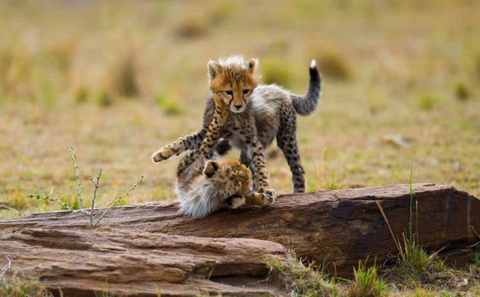 Two cute cheetah cubs playing with one another on a large rock