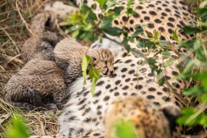 Litter of four cheetah cubs in the wild, Masai Mara