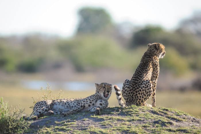 Cheetah couple resting on a termite mound, during the mating season
