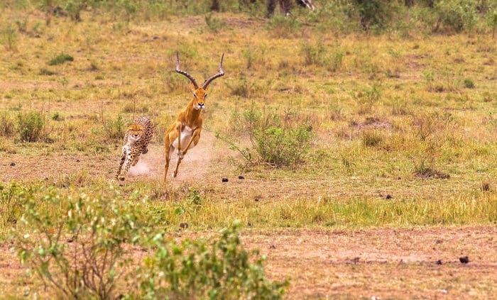 Cheetah chasing a male impala in the Masai Mara