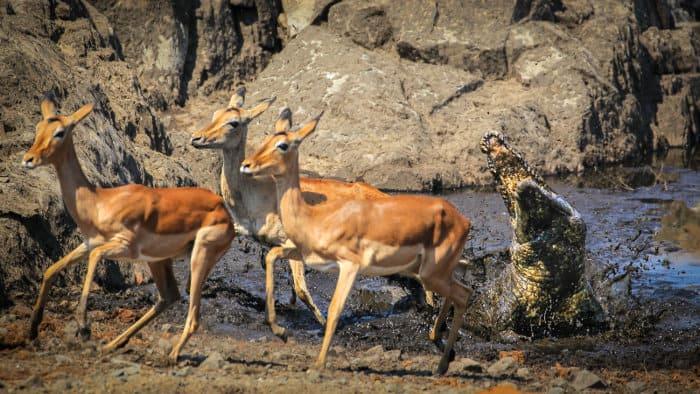 Hungry crocodile tries to ambush impala from a muddy pond