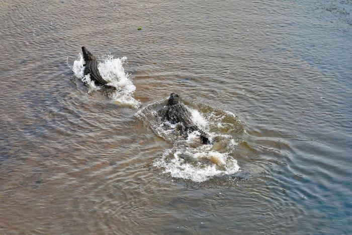 Two Nile crocodiles race through shallow waters