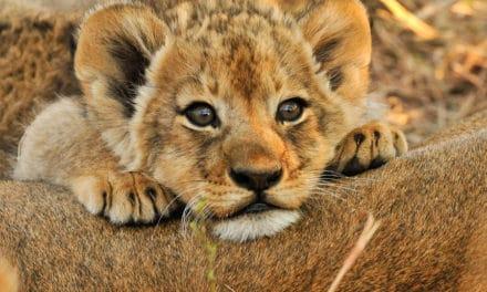 Baby Lions: More than just savanna princes