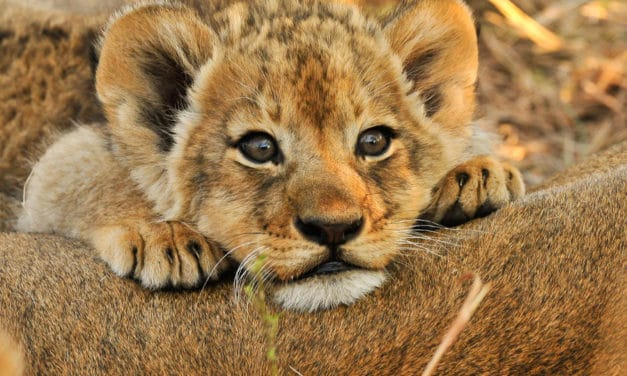 Baby Lions: More than just savanna princes